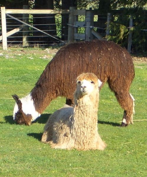 Suri-alpaca