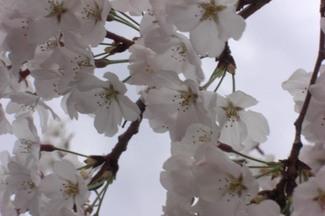 Blossoms_close_up