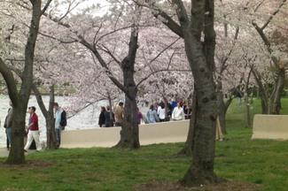 Cherry_blossom_crowds