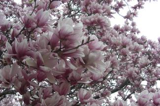 Sugar_magnolias